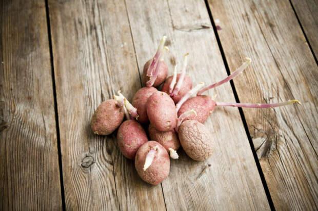 Перестаньте выбрасывать ростки от картофеля. Полезности для огорода