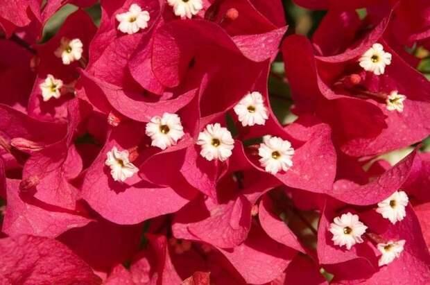 Цветок бугенвиллии