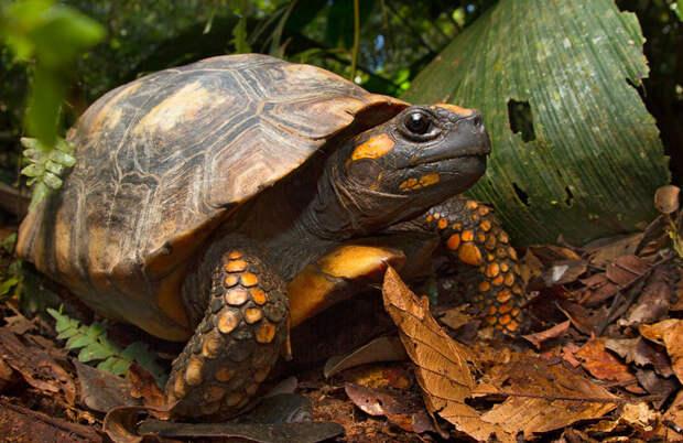 Животные Южной Америки: зубчатая черепаха