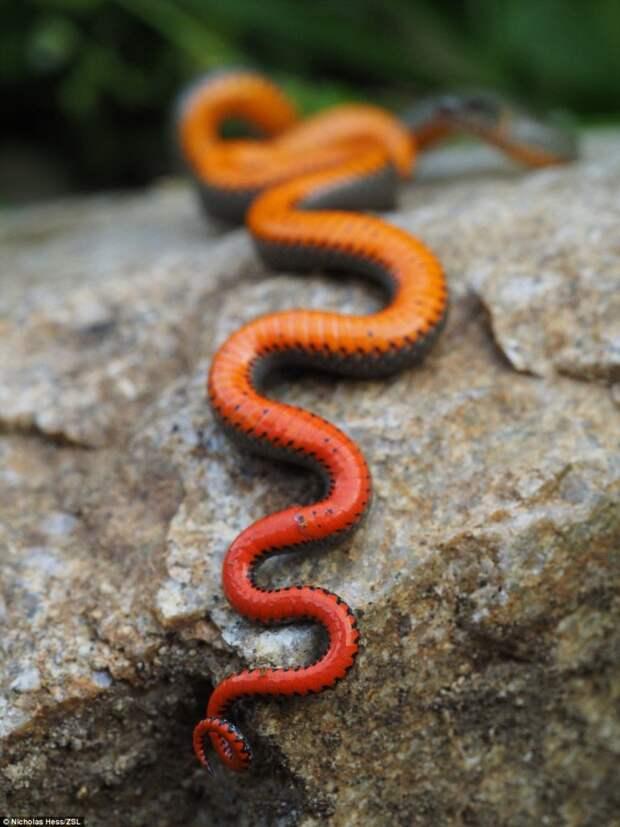 Точечная ошейниковая змея