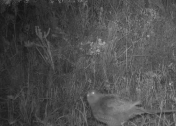 Фотоловушка за семь лет работы один раз засняла редчайшего австралийского попугайчика