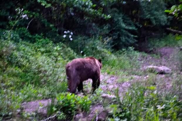 Неожиданная встреч с бурым медведем