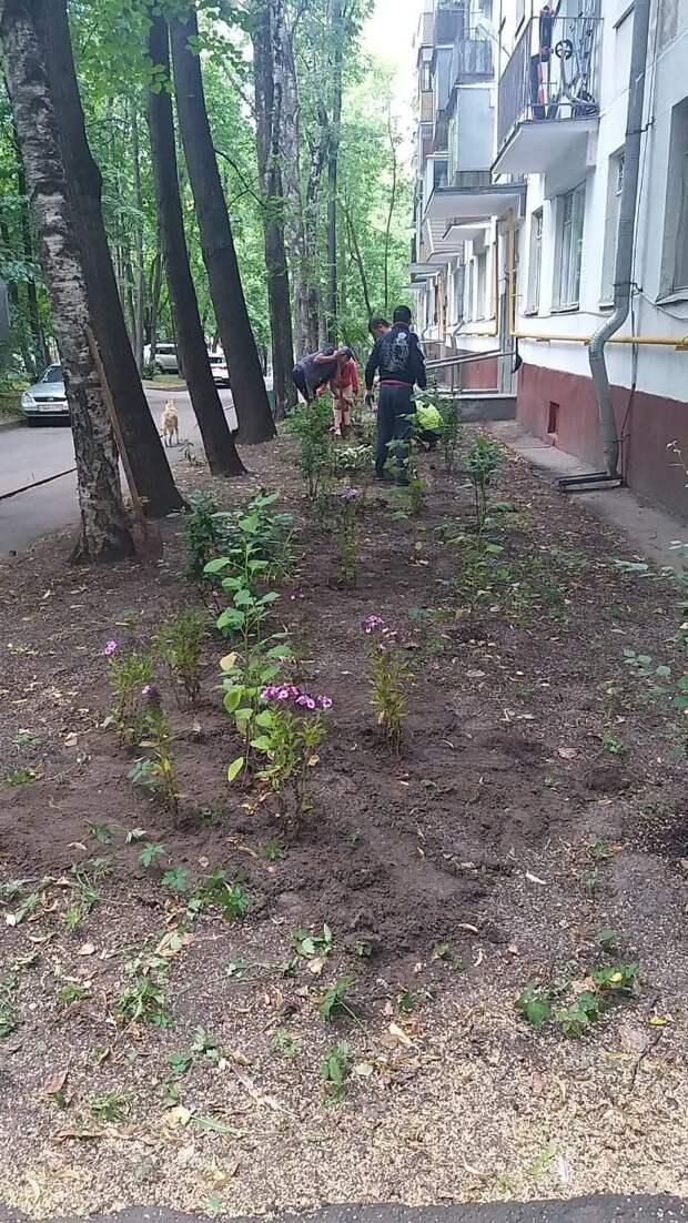 На Академика Комарова высадили пионы и флоксы