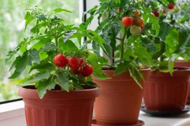 Салат с подоконника. Какие растения можно выращивать в квартире