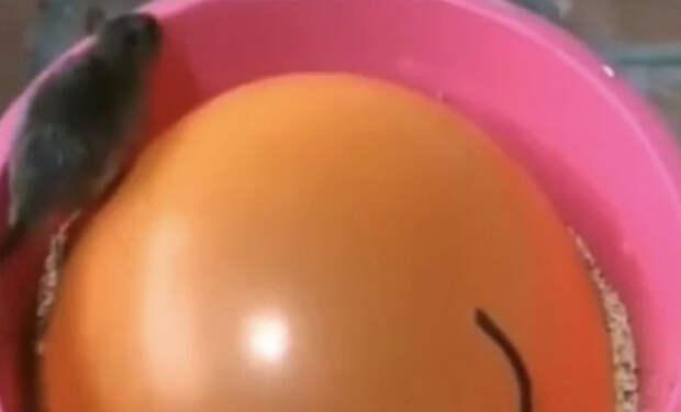Кладем в ведро воздушный шарик: ловушка для мышей и крыс за минуту