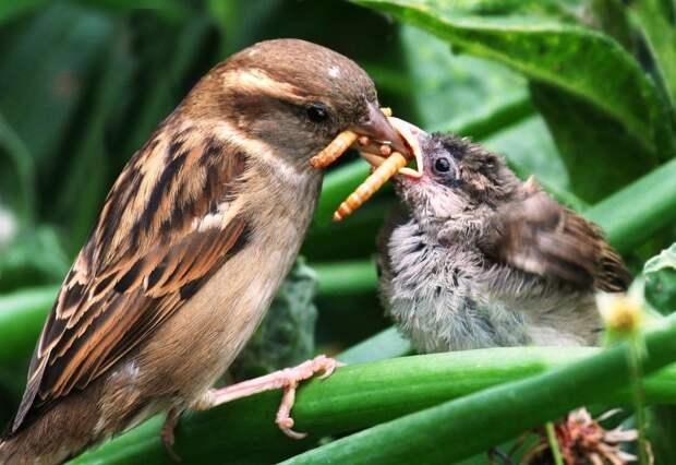 Воробьи — отменные дезинсекторы. Они прекрасно истребляют всевозможных насекомых в поле. Уменьшение численности птиц в городах грозит нашествием вредоносных буках.