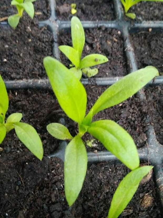 Выращивание однолетнего флокса