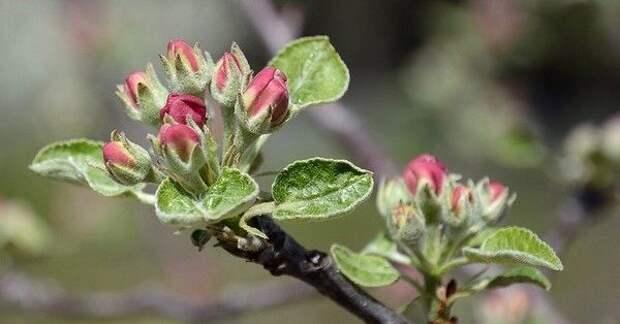 Вот как увеличить количество плодовых почек на яблоне и груше