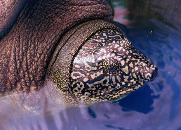 Одна из четырех выживших черепах Свайно оказалась самкой