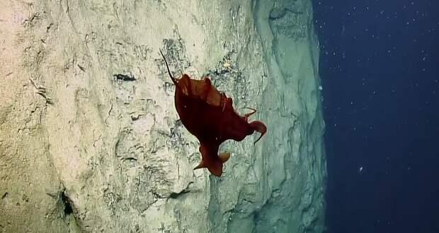 Необычного глубоководного осьминога сняли навидео