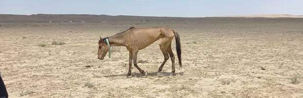 В Мангистау из-за засухи погибло более 1000 голов скота
