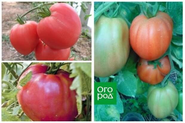 высокорослые томаты Сердце буйвола