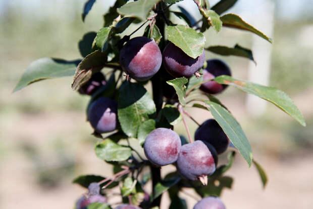 На Кубани планируют собрать более полумиллиона тонн фруктов и ягод