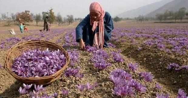 Сбор шафрана лучше осуществлять в сухую погоду / Фото: scroll.in