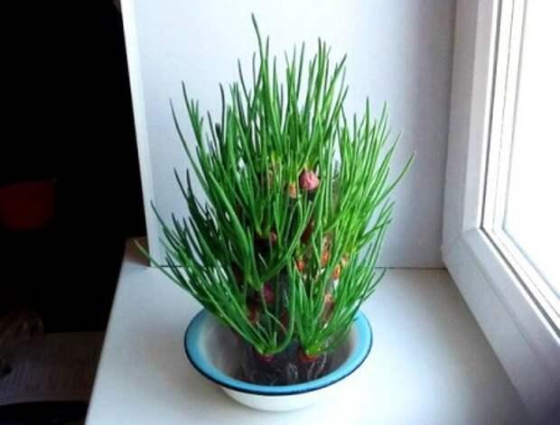 Необычный и красивый способ вырастить зелёный лук на подоконнике