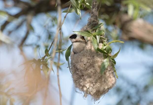 Петербуржцы заметили на деревьях гнезда-варежки