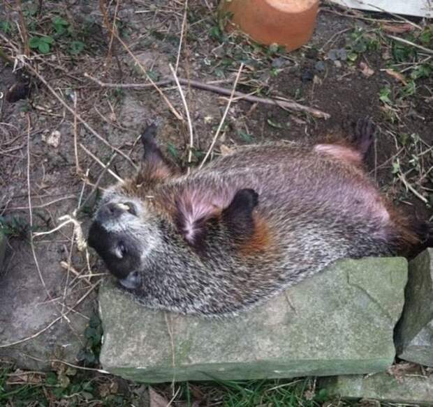 Слепая самка сурка 3 дня лежала во дворе, а теперь спит в кровати со своей спасительницей!!!