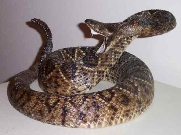 10. Гремучая змея   змеи, самые ядовитые, топ, топ-10