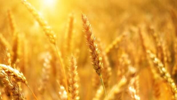 Экспортные цены на российскую пшеницу демонстрируют рост