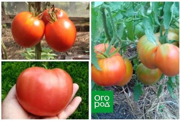 высокорослые томаты Сердце кенгуру