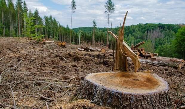 Жители района Карелии обнаружили массовую вырубку леса