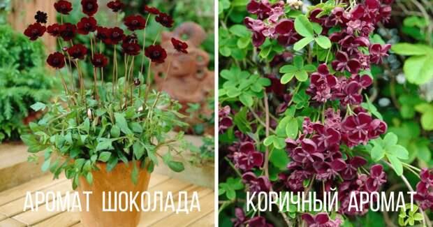 7 необычных растений, пахнущих шоколадом или кока-колой