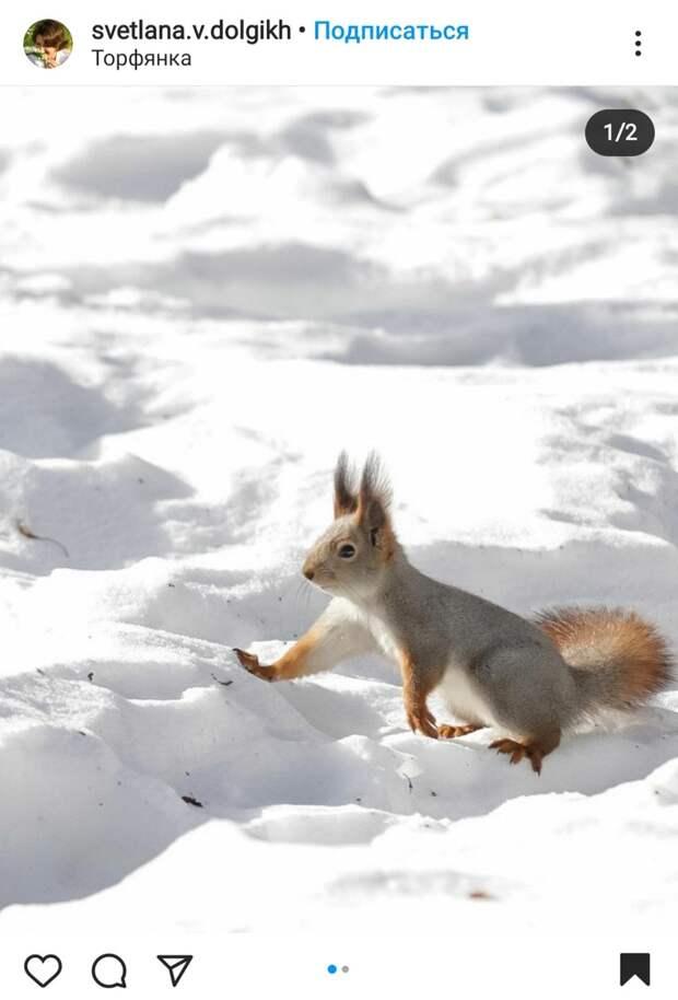 Фото дня: белка из Торфянки искала весну в снегу