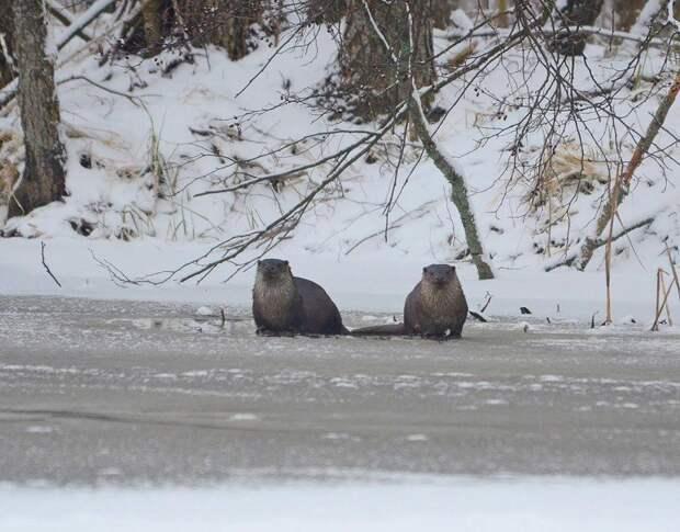 «Рысь помахала лапкой». Опубликованы фото редких животных из заснеженных лесов вокруг Чернобыля