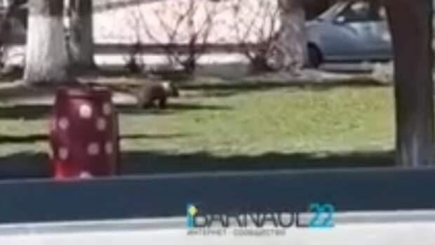 Соцсети: Медвежонка заметили в одном из барнаульских дворов