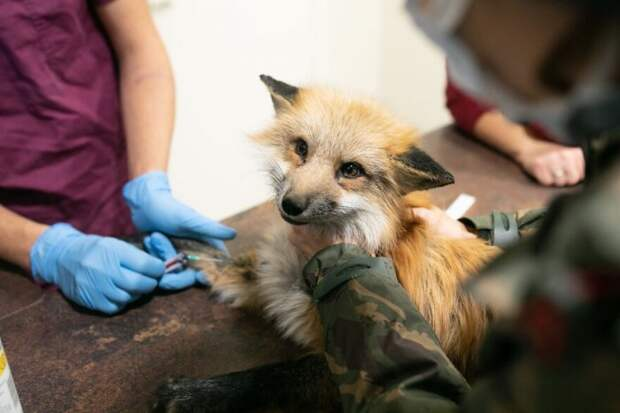 Спасение голодных лисиц с польской зверофермы