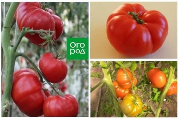 высокорослые томаты Мамина любовь