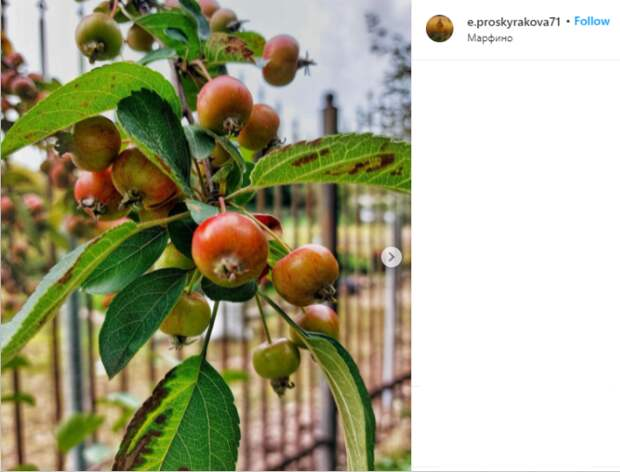 Фото дня: в Марфине созреют яблоки ранетки