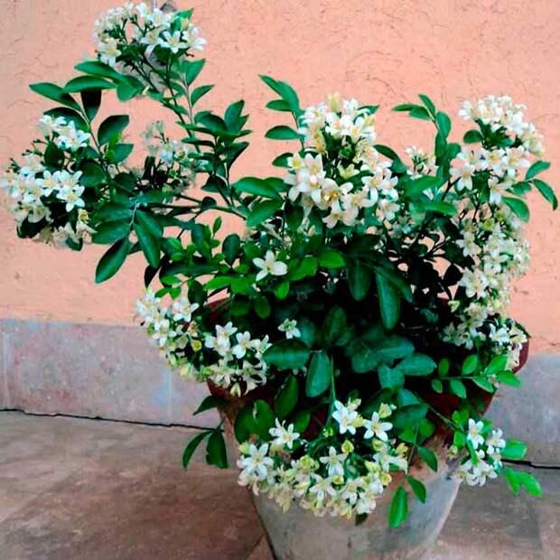 Комнатное растение Мурайя (Murraya)