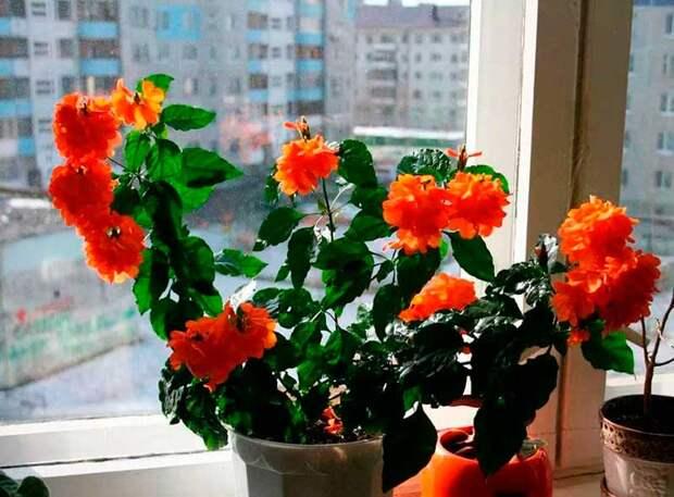 Комнатное растение Кроссандра (Crossandra)