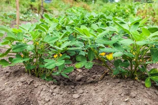 Арахис (Arachis hypogaea) — совсем даже и не орех, а бобовое растение со стручками (бобами), в которых содержатся семена, неправильно называемые орехами