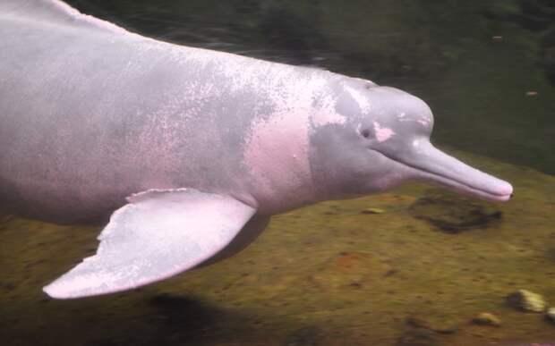 Представь розового дельфина. На самом деле он выглядит не так