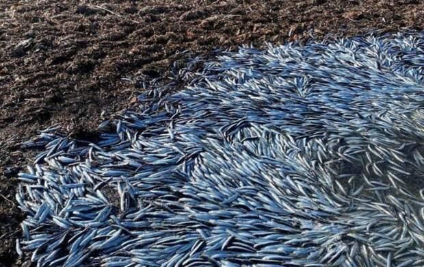 Во Владивостоке на берег массово выбрасывается анчоус: почему