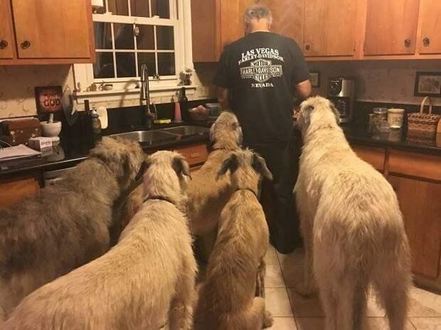 Ирландские волкодавы любят арахисовое масло домашний питомец, животные, ирландский волкодав, размер, собака