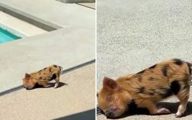 Утомился: уснувший на улице поросенок похитил сердца пользователей Сети