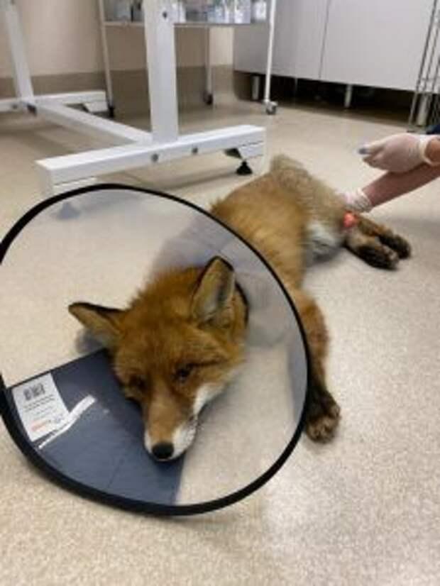 Сейчас лис у ветеринара, затем животное отправят в приют / Фото: Надежда Разживина