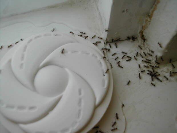 Надежный способ избавиться от ненавистных муравьев в квартире как избавиться, квартира, муравьи, народные способы, насекомые, фото