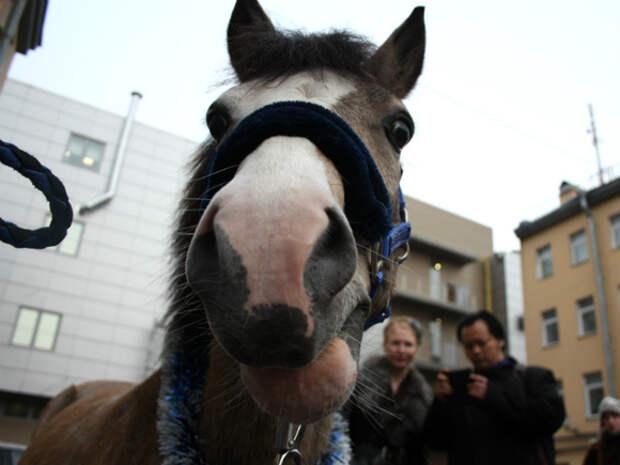 В Петербурге лошадь откусила нос мужчине, который хотел ее поцеловать