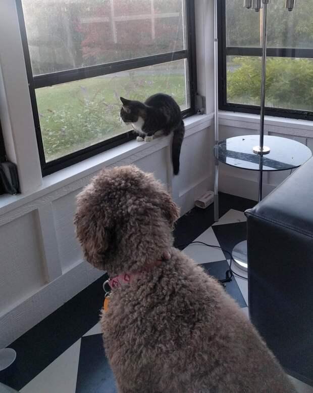 кошка с собакой у окна