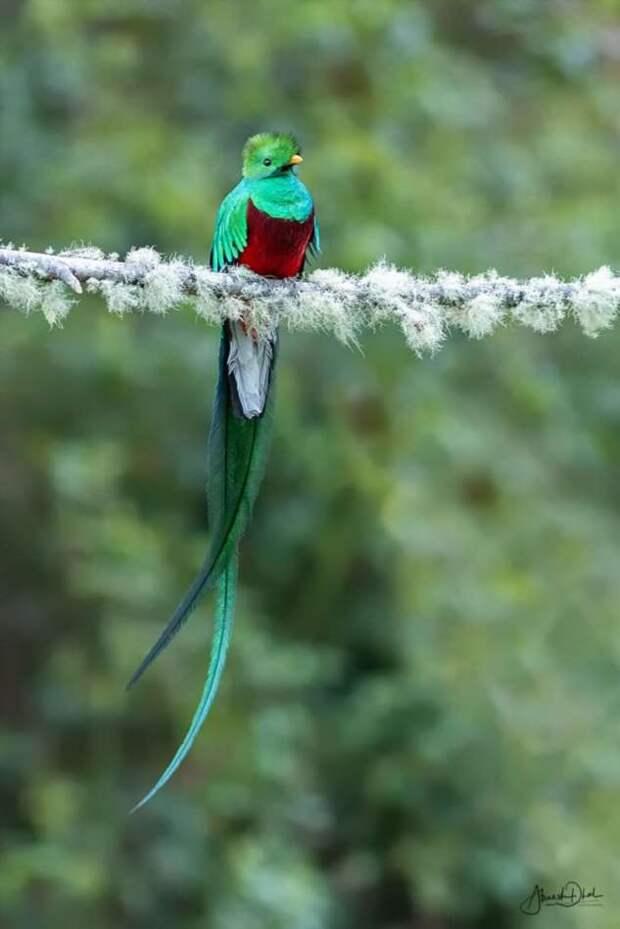 Кетсаль — красивейшая птица планеты