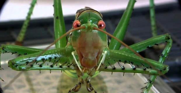 Дьявольский красноглазый кузнечик: Страх и ненависть в кузнечике. Жесткий хищник с шипами