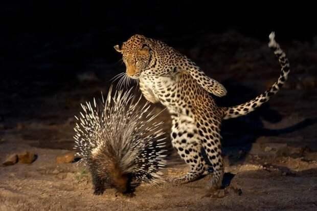 Естественные враги дикобраза фото