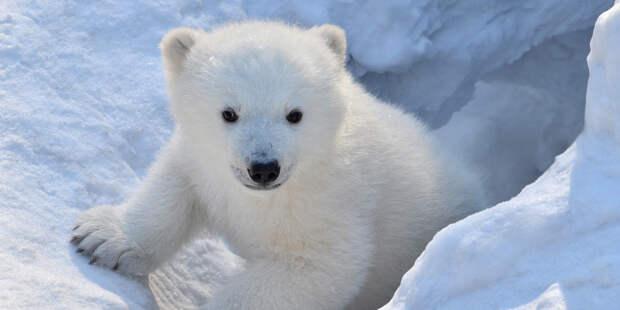 В Московском зоопарке приютили спасенного белого медвежонка