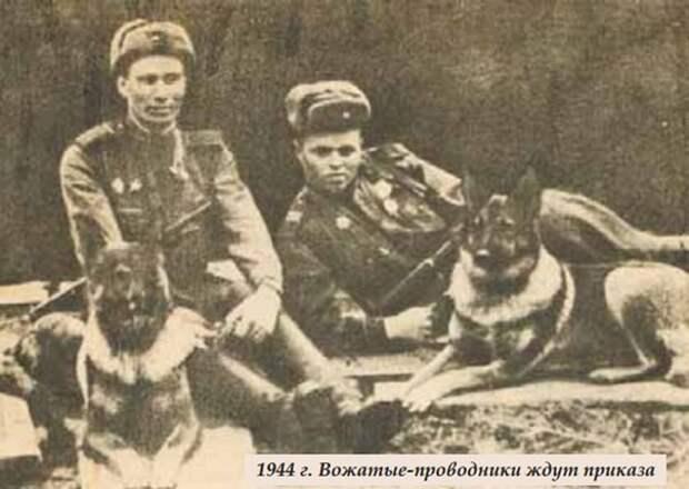 Овчарка Дина — единственный пес-диверсант