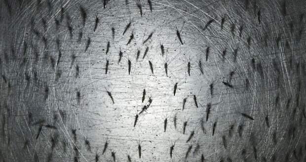В США появились генетически модифицированные комары