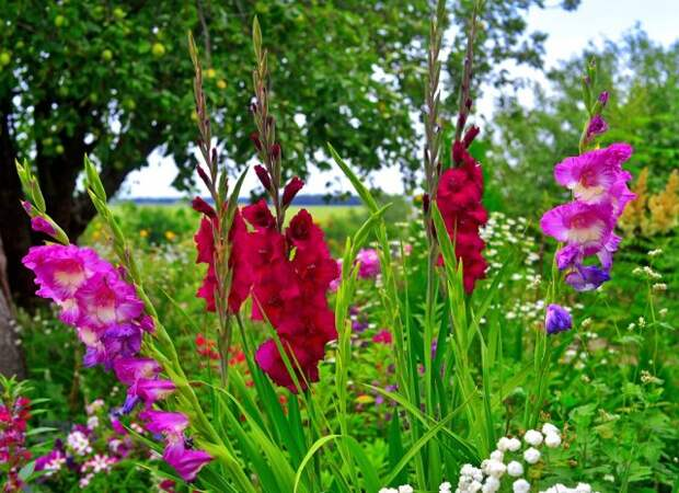 Flowers of gladiolus, yarrow on flowerbeds in the garden against the backdrop of the sky and trees
